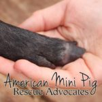 support mini pig rescue